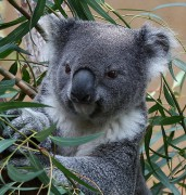 Koalas can't use condoms to protect themselves from chlamydia. You can. Image: Rennett Stowe, Flickr